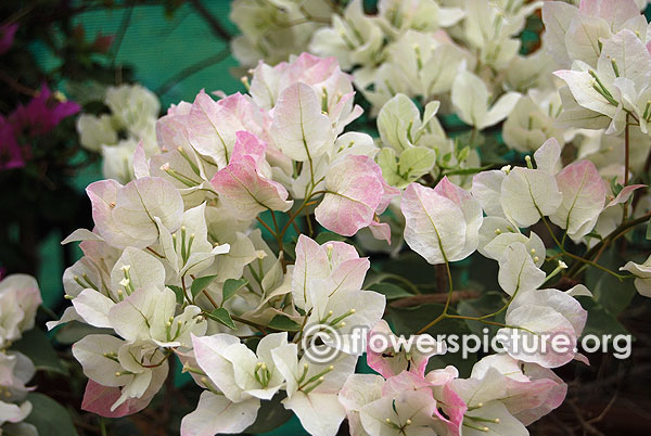 Bougainvillea white and pink variegated bangalore flower show 2015