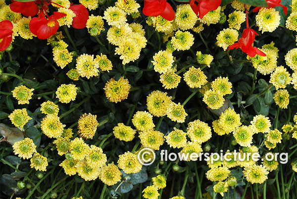 Button chrysanthemum flower bangalore lalbagh august 2015