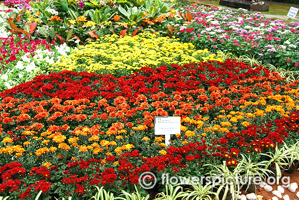 Chrysanthemum pot mum varieties lalbagh independence day flower show august 2015