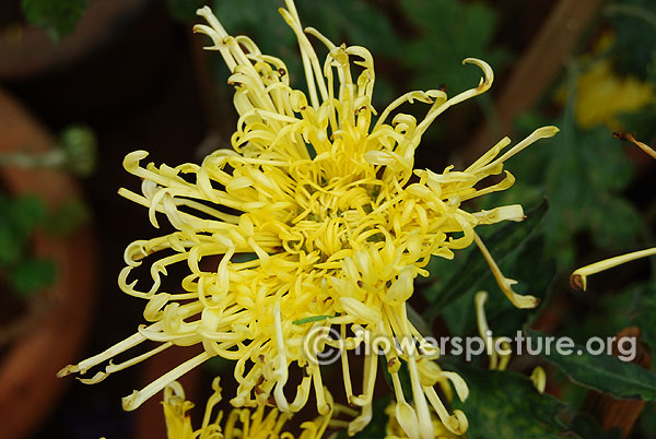 Chrysanthemum spider mum yellow lalbagh flower show independence day august 2015