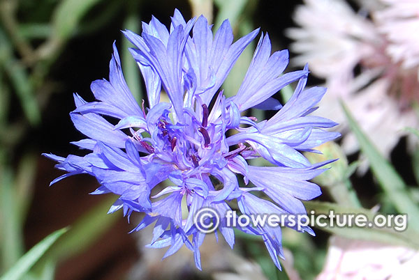 Corn flower centaurea cyanus lalbagh independence day flower show august 2015