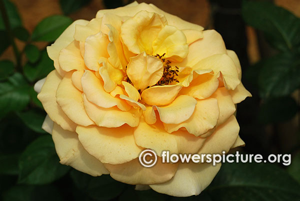 Good as gold yellow rose bangalore lalbagh august 2015