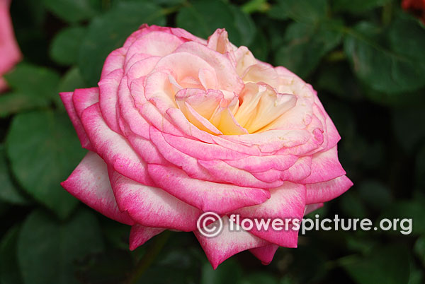 Handel pink and white rose bangalore lalbagh august 2015
