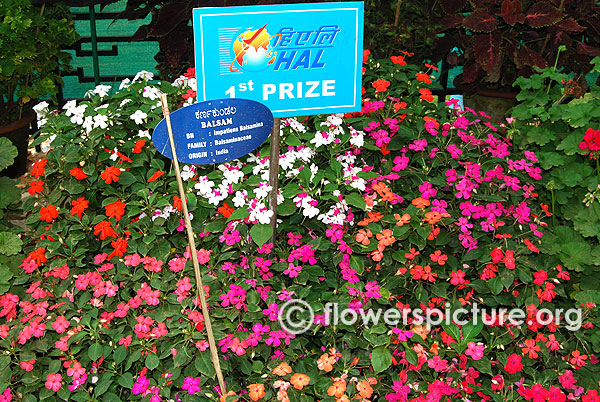 Impatiens balsamina varieties lalbagh flowershow independence day 2015