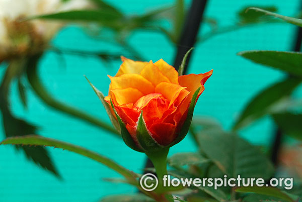 Marigold sweet dreams patio miniature yellow and red rose bangalore lalbagh august 2015