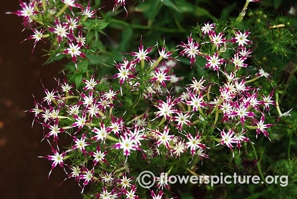 Phlox astoria purple white star
