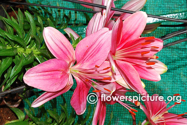 Pink lily flower