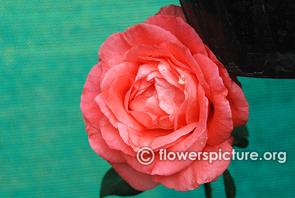 Salmon pink rose bangalore lalbagh august 2015