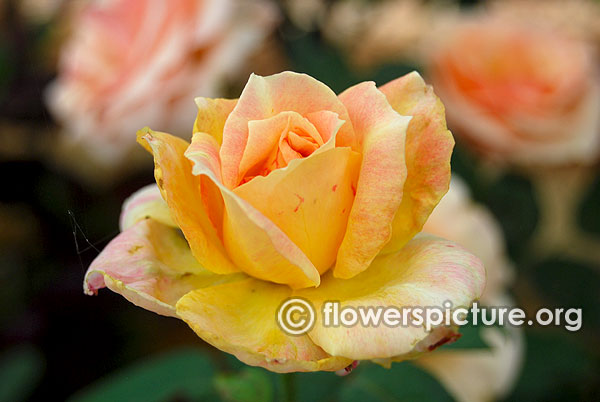 Silver jubilee rose yellow and pink rose bangalore lalbagh august 2015