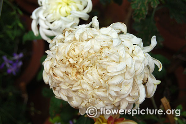 Single stem mums chrysanthemum morifolium white bangalore lalbagh august 2015