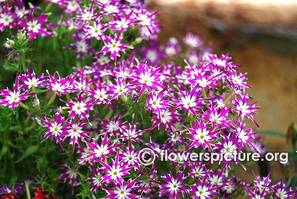 Star phlox purple white variegated flowers