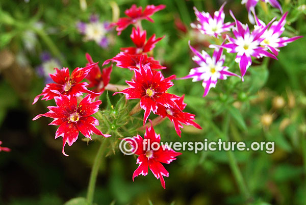 Star phlox red with black eye