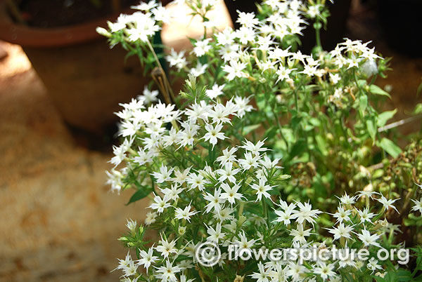 Star phlox white
