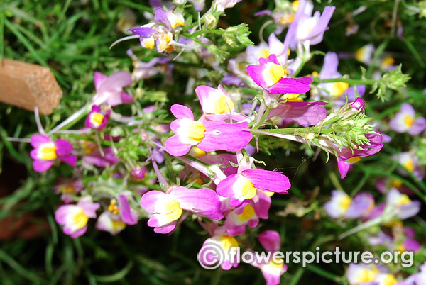 Toadflax flower linaria vulgaris lalbagh independence day flower show august 2015