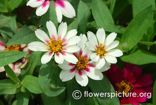 Zahara starlight rose zinnia lalbagh independence day flower show august 2015