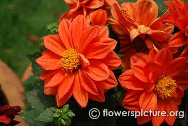 lalbagh-flower-show-august-2016-photos-independence-day-special/thumbnail/dahlia-dwarf-double-orange.