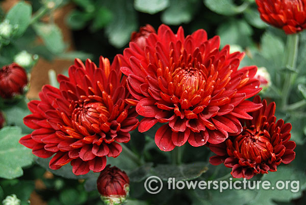 Dark red garden mum