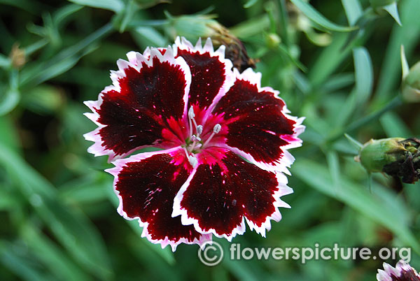Dianthus black and white minstrels