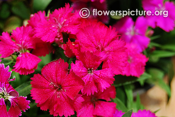Dianthus wicked witch