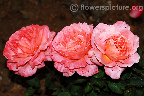 Duchess of cornwall rose