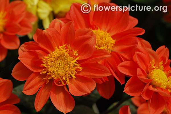 Dwarf orange dahlia