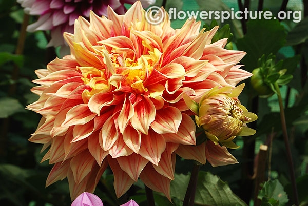 Flamethrower dahlia