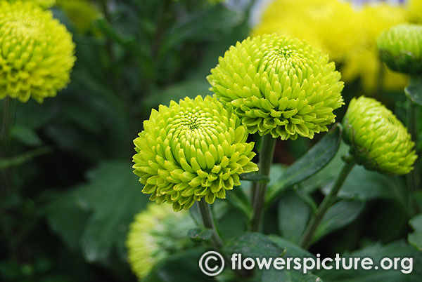 Green button chrysanthemum lalbagh august 2016