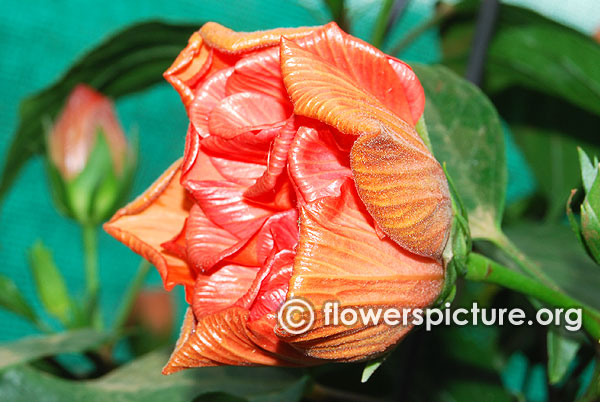 Hibiscus double orange flower bud