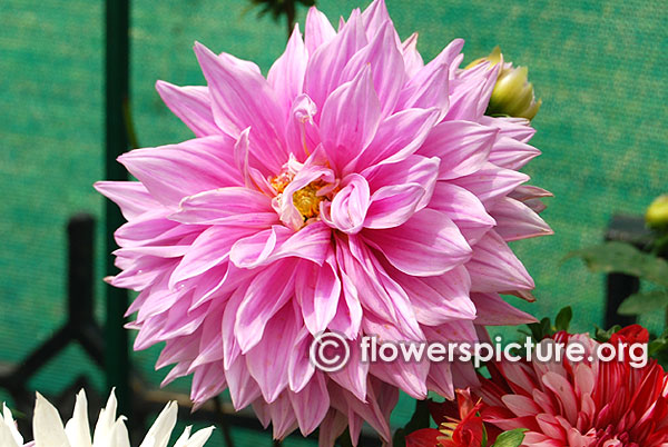 Hollyhill big pink dahlia