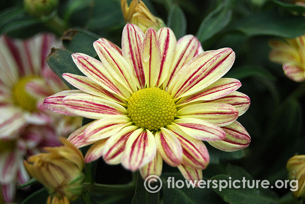 Lime yellow purple bicolor garden mums