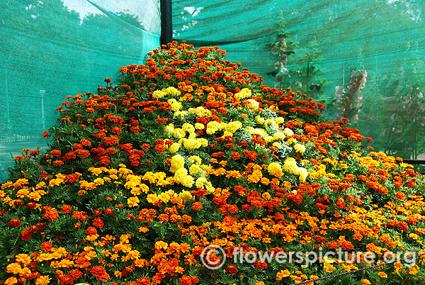 Marigold flower mountain