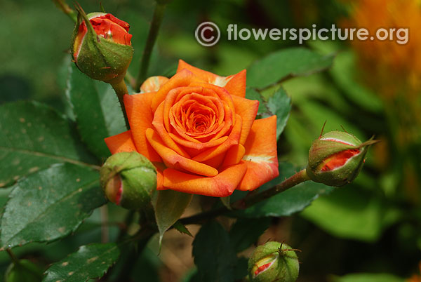 Coral treasure rose miniature variety