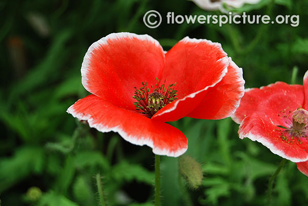 Papaver rhoeas red and white bicolour petals