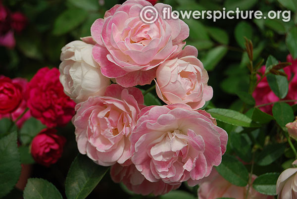 Pink and white dwarf miniature roses