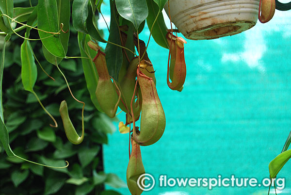 Pitcher plant monkey cups nepenthes carnivorous