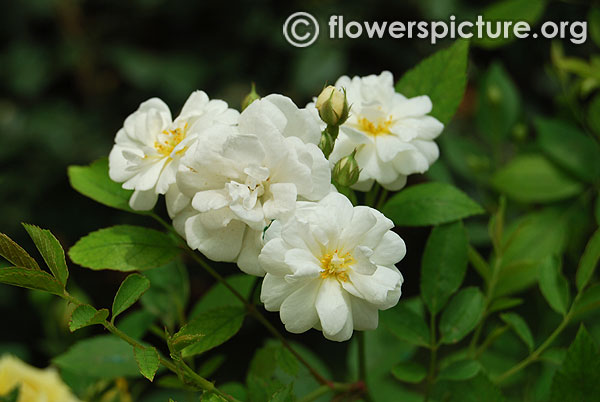 Popcorn miniature rose