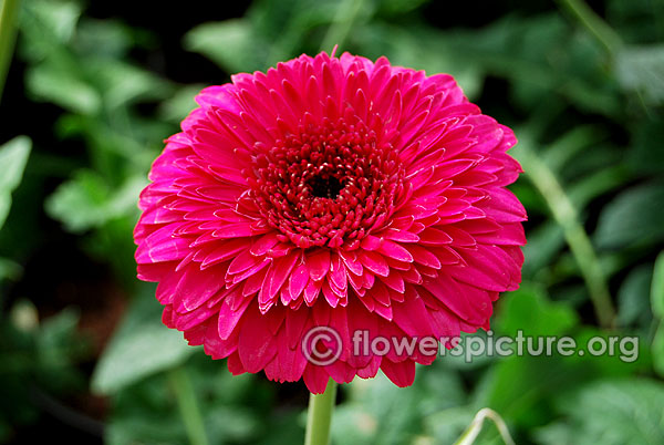 Purple gerbera daisy