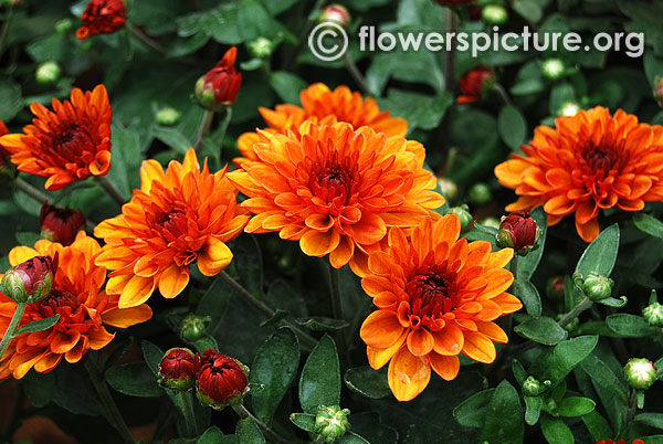 Red bronze chrysanthemum