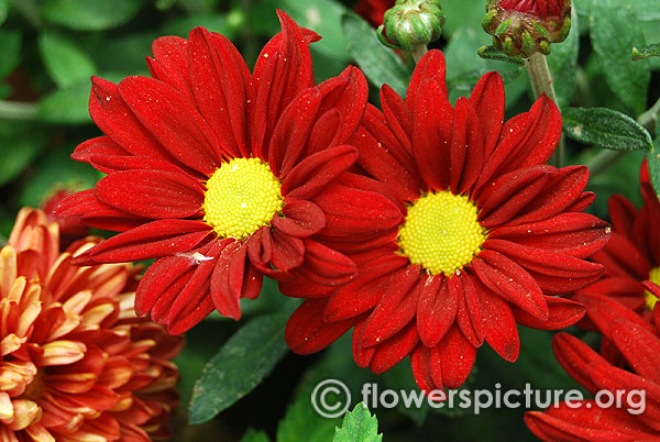 Red pot chrysanthemum