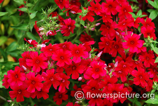 Scarlet red phlox