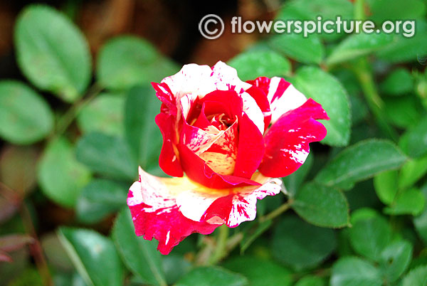 Stars n stripes miniature rose
