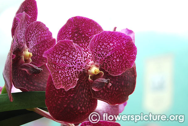 Vanda roberts delight red berry
