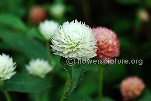 White globe amaranth