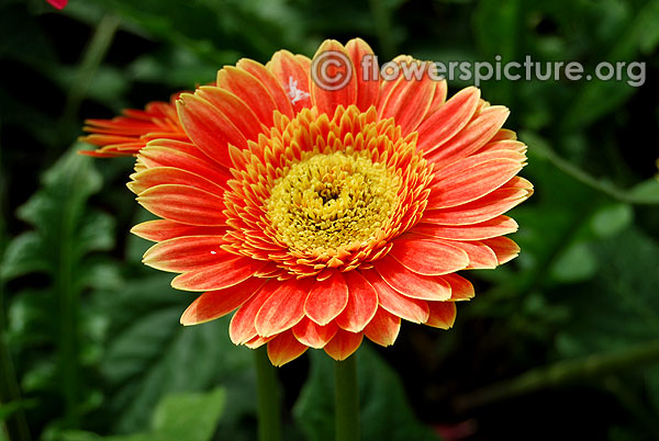 Yellow and orange gerbera daisy