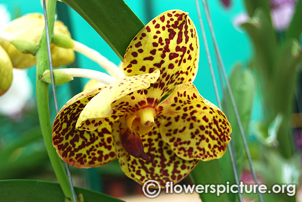 Yellow vanda orchid flower