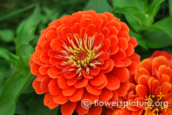 Zinnia elegans dreamland orange