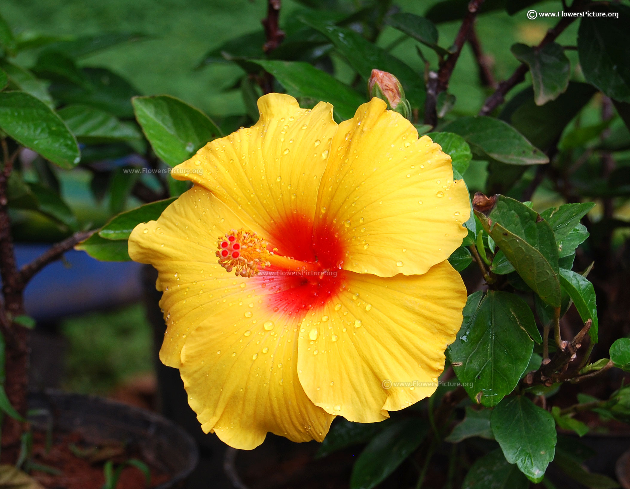 Hibiscus flower varieties hawaiian hibiscus yellow and red dhlflorist Image collections