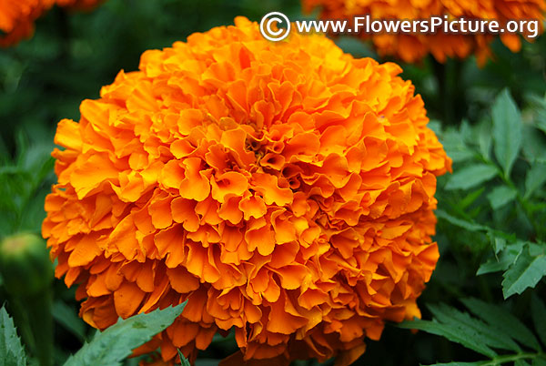 African giant marigold