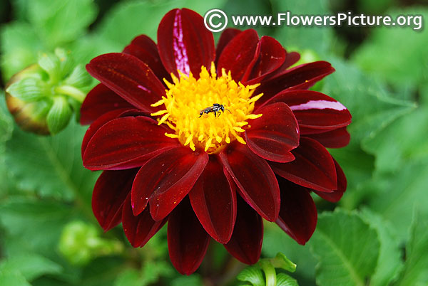 Black and pink dahlia