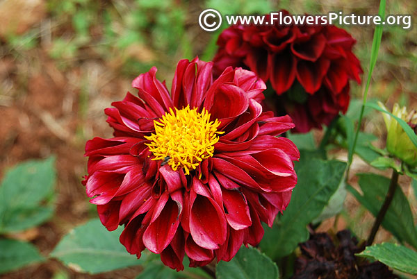 Brownish red dahlia